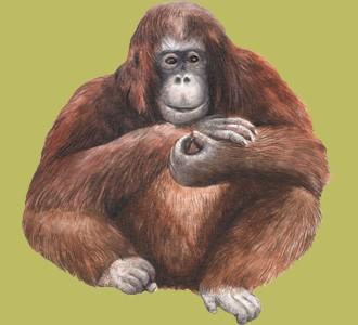 Ein Dschungeltier von der Art orang-utan aufnehmen