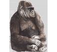 Gorilla - Fell 69