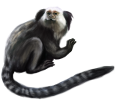 Marmoset - Fell 52