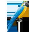 Blauer Ara Papagei - Fell 5
