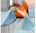 Bienenfresservogel - Fell 5