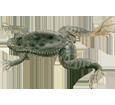 Afrikanische Krallenfrosch - Fell 71