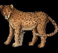 Jaguar - Fell 46